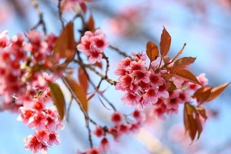 flor de sakura: Sakura Rosa flores  Foto de archivo