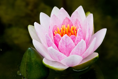 Pink Lotus (Water Lily) Stock Photo - 7702830