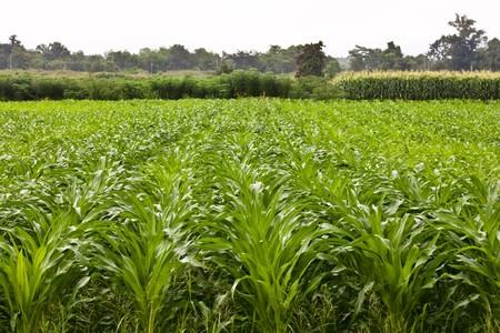 Corn field plantation Stock Photo - 7702950