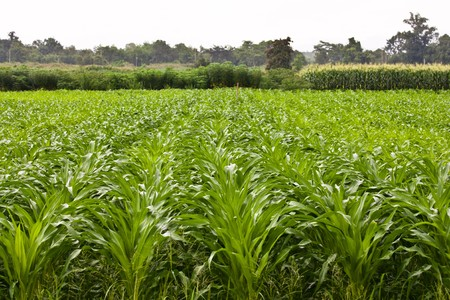 Corn field plantation Stock Photo - 7702950
