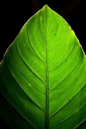 Green Leaf Detail Backlit on black photo