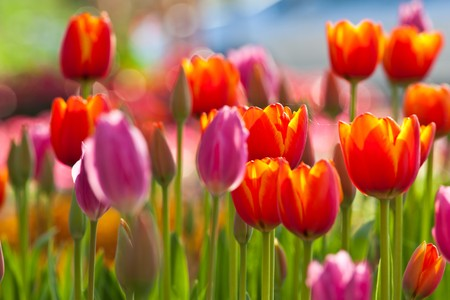 flowers field: Colorful Tulips