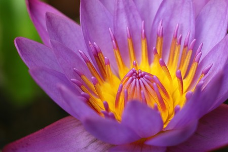 Beautiful Purple Lotus Close Up View photo