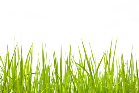 Fresh Green Grass On White, Morning  Dews on leaf can be seen photo