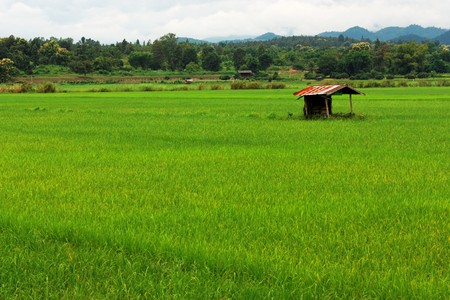 Green Rice Field Near The Mountain Stock Photo - 8012716