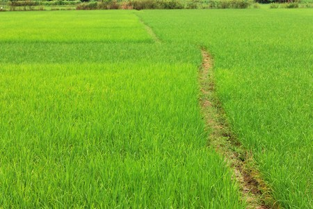 Path way in the rice field Stock Photo - 8012748