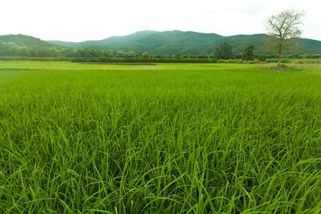 Green Rice Field Near The Mountain Stock Photo - 8012923