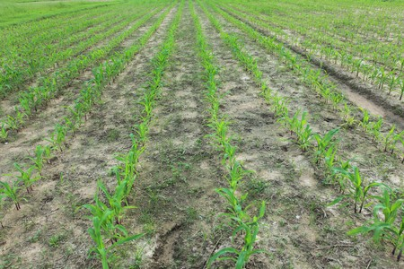 Corn field plantation at baby stage Stock Photo - 8013016
