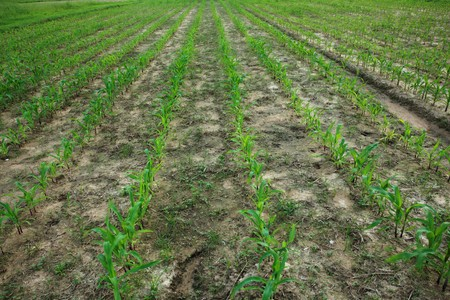 Corn field plantation at baby stage Stock Photo - 8013009