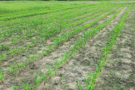 Corn field plantation at baby stage Stock Photo - 8013008