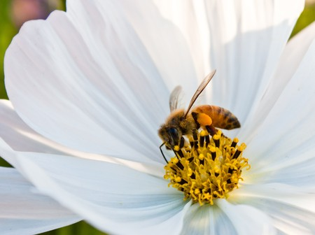 calceolaria: Bee working on white cosmos flower Stock Photo