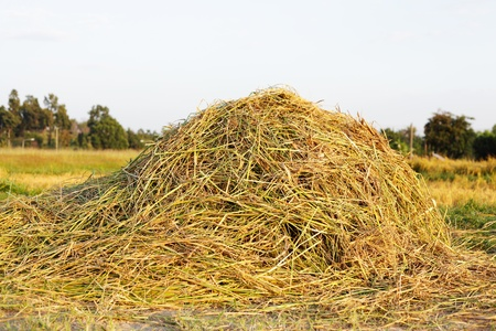 Pile of Rice Hay Stock Photo - 8325009