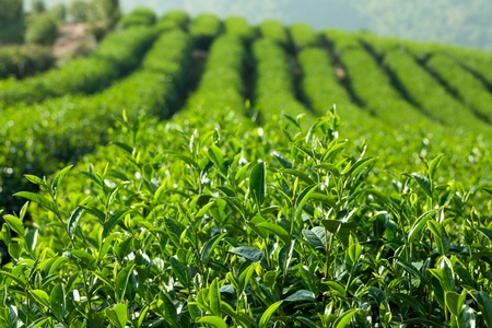 Green Tea Farm Stock Photo - 8390888