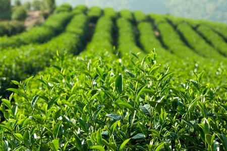 Green Tea Farm Imagens