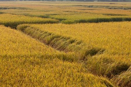 Golden Paddy Rice Field Stock Photo - 8391049