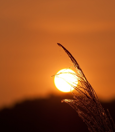 Grass Plumes At Sunset photo