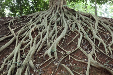 arbre avec racine: Incroyable Chaos Tree Roots