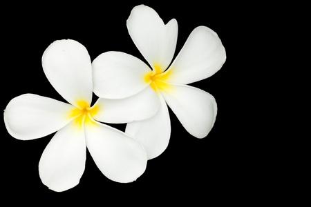 Plumeria on black background  photo