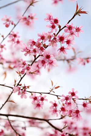 Pink Sakura Flowers photo
