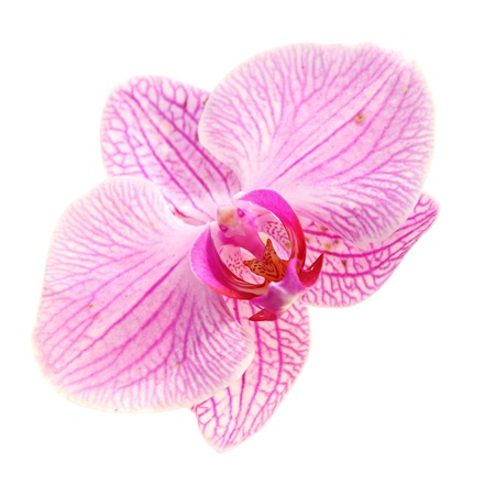 Sweet Color Pink Orchid Isolate photo