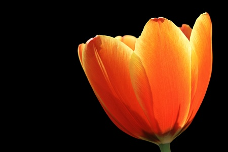 Orange Tulip Isolate On Black photo