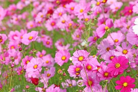 Beautiful Cosmos Flower Stock Photo