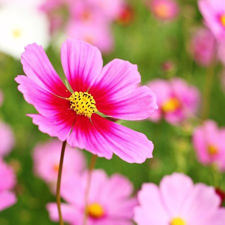 flowers field: Beautiful Cosmos Flower Stock Photo