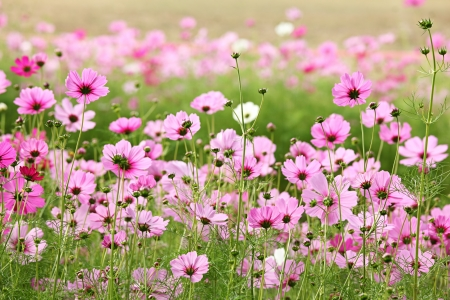 field of flowers: Beautiful Cosmos Flower Stock Photo