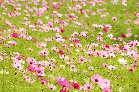 Cosmos flower field Stock Photo - 8599898