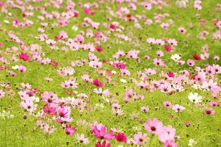 Cosmos flower field Stock Photo