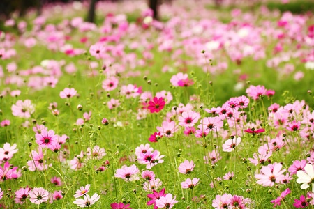 field of flowers: Cosmos Flower field