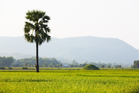 Paddy Rice Field Stock Photo - 8695794