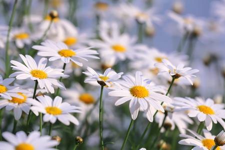 campo de margaritas: Daisy blanco