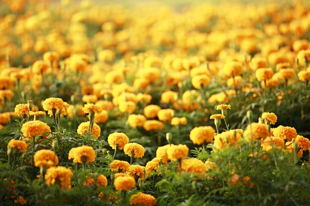 garden marigold: Marigold field Stock Photo