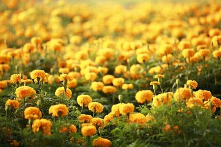 Marigold field Imagens
