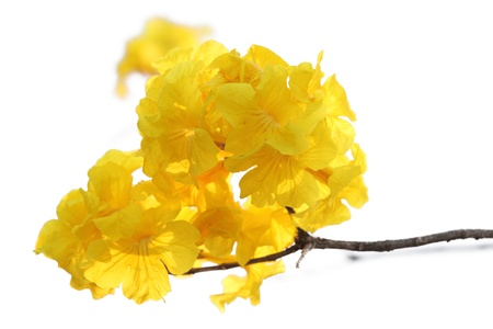 Beautiful Yellow Flower (Tabebuia chrysantha)