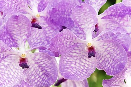 Purple Vanda Orchid photo
