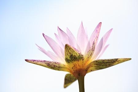 Pink Lotus Stock Photo - 9157077