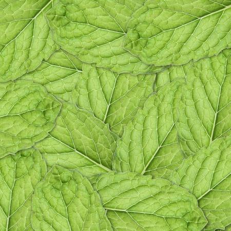 Mint Square Background BIG leaf photo