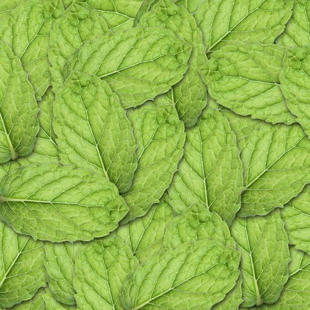Mint Square Background SMALL leaf photo