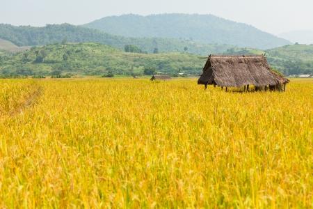 Golden Rice Field Imagens