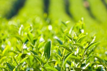 Tea Farm Imagens