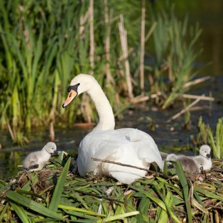 aquatic bird: Swan Family