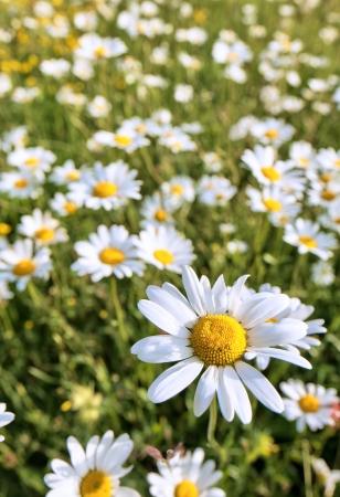 Daisy flower Stock Photo - 15735439