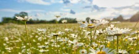 Daisy flower Stock Photo - 15735448