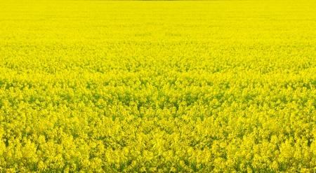 mustard: Rape seed field