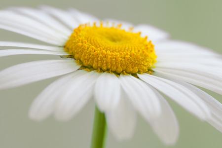 white daisy: White daisy