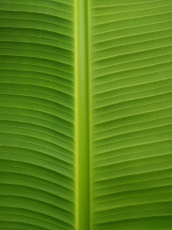 background: Green Banana Leaf Background