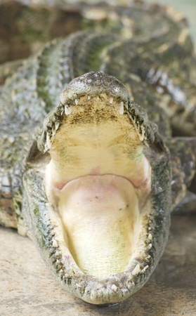 alligator eyes: crocodile open mouth