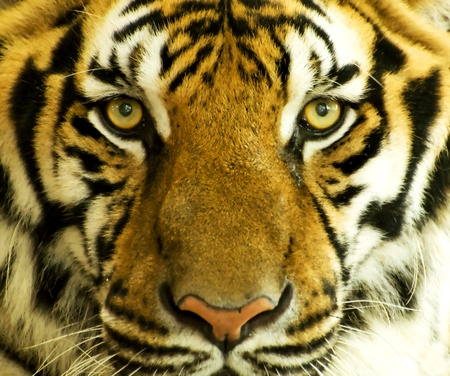 Tiger face photo